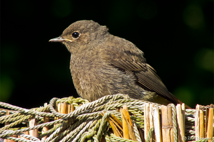 Female Black Redstart by Namisao