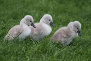 Three Cygnets by SnowPoring