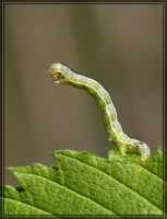 Inchworm 40D0039626 by Cristian-M