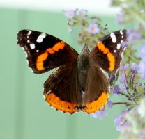 Red Admiral by duggiehoo