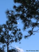 Morning Moon and Pine by buddhabear
