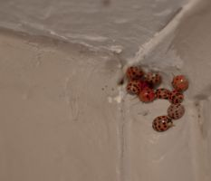 Asian Ladybugs by TreborEevob
