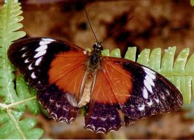 Red Lacewing Butterfly by AfroDitee