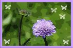 Glossy-scabious by nmmarkowa