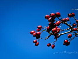 Red fruit 2 by Gundhardt