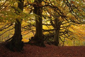 Beech by JakeSpain