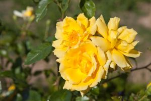Yellow rose by theGuffa