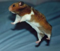 Flying Hamster by nikmil