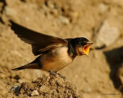 Bank Swallow Chick feeding posture by natureguy