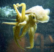 Cuttlefish by Social-Misfit