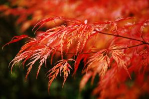 Acer Autumn by EarthHart