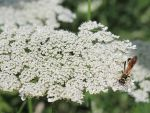 Queen Anne's Lace and Wasp by Windthin