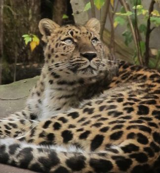 Amur leopard looking stock by thiselectricheart