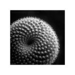 Pincushion Cactus by sixpence