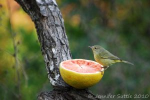 Orange Crowned Warbler by jayshree