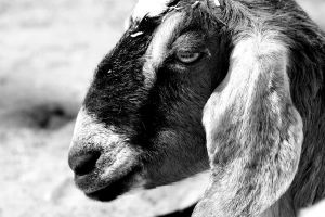 Black and White Goat by XxQuothTheRavenxX
