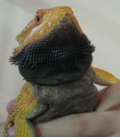 orange bearded dragon 3 by twyliteskyz