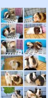 More guinea pigs by lilypsiren