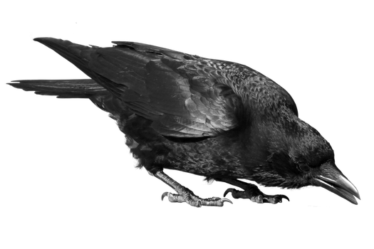 crow 24 by peroni68