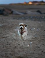 Puppy sprinting FAST on the beach by Samuel-Benjamin