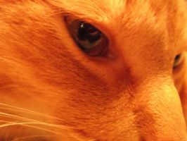 Blazing orange, Mellow the cat by forever-at-peace
