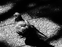 New Zealand - Pigeon by MariMcGee