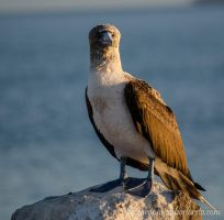 Blue footed Boobie by chrisatsabor