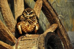 Burrowing Owl by Chaotic-Chelly