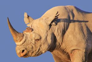 Black Rhino - Bull of Format and Power by LivingWild