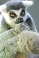 ring-tailed lemur 1.2 by meihua-stock