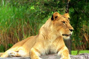 The big cats of the wold 7. by aathe1