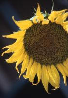 Dramatic Sunflower by sacredspace