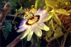 Passion flower by ShlomitMessica