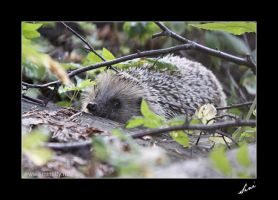 European Hedgehog3 by tric-k