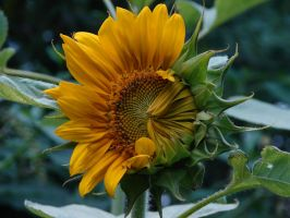 this is a sunflower. by happycabbage777
