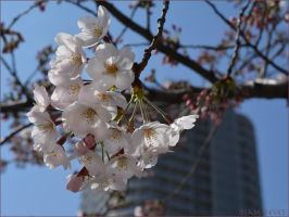 Cherry blossoms of the downtown area of Tokyo (2) by osam-devet