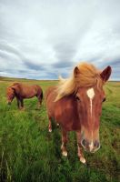 Icelandic Horse 2 by leighd