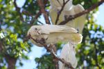Little Corella by kuwinda