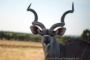 Greater Kudu 4 by MorrighanGW