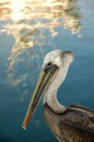 Pelican I by esee