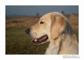 Golden Retriever by silentiofci
