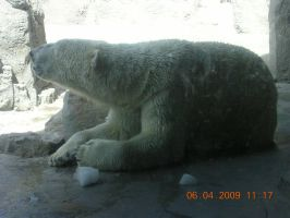 PolarBear eating Ice by eires666