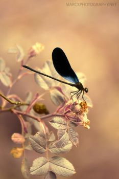 Damselfly by djwedo