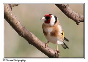 Another Goldfinch by CharmingPhotography
