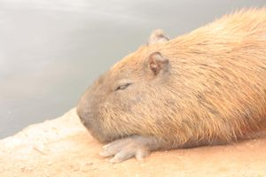 Sleeping capivara by keziakos