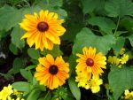 Brown-Eyed Susans by cadillacphunque