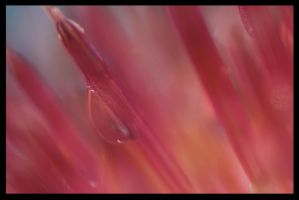 Pink Droplets by RobertRobledo