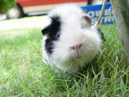 Oreo the Guinea Pig by wastingtape