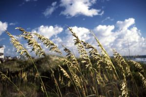 Sea Oats by fuzzbucket