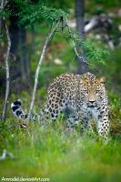 Persian Leopard by amrodel